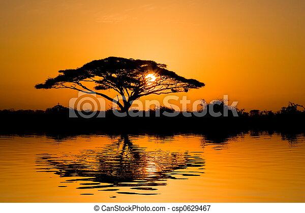 金合欢属的植物树, 日出 - csp0629467