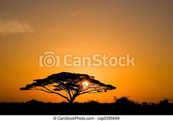 金合欢属的植物树, 日出 - csp0395669
