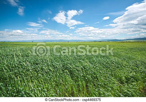 青い空, 小麦, 緑のフィールド - csp4469375