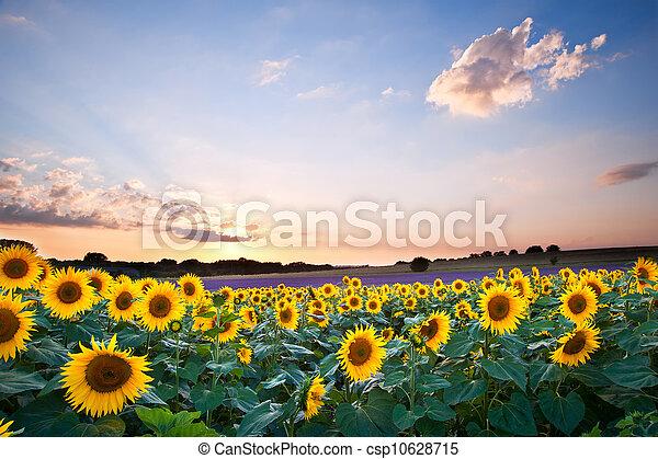 青, 夏, ひまわり, 日没, 空, 風景 - csp10628715