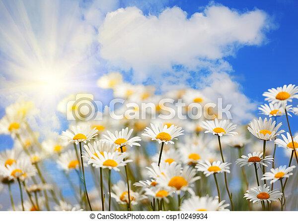 青, 太陽, 空フィールド, camomiles - csp10249934