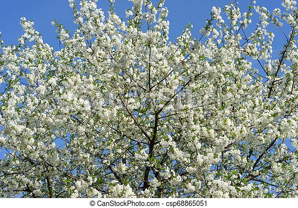 青, 木, 咲く, に対して, sky., さくらんぼ - csp68865051