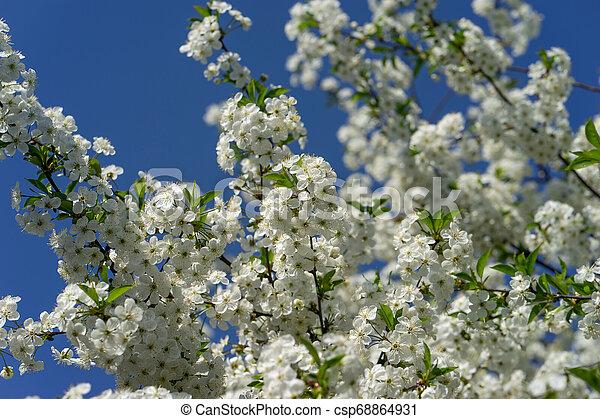 青, 木, 咲く, に対して, sky., さくらんぼ - csp68864931