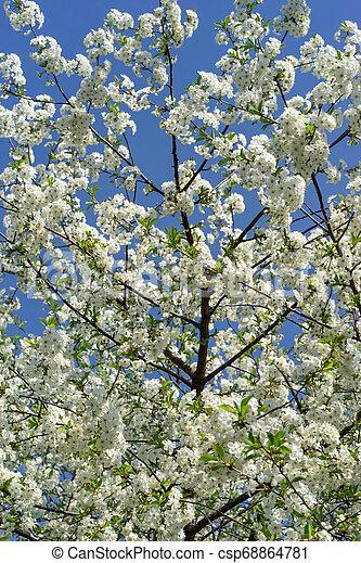 青, 木, 咲く, に対して, sky., さくらんぼ - csp68864781