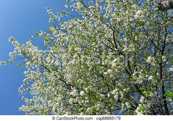青, 木, 咲く, に対して, sky., さくらんぼ - csp68865179