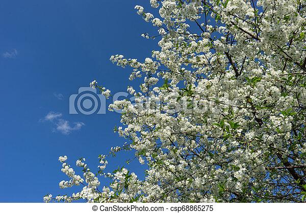 青, 木, 咲く, に対して, sky., さくらんぼ - csp68865275