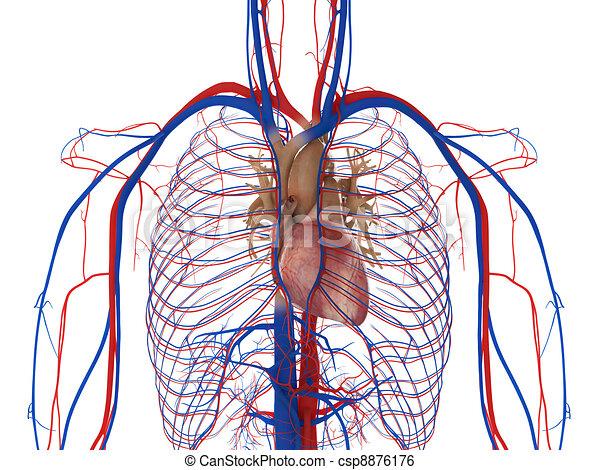 静脈, 動脈, 心 - csp8876176