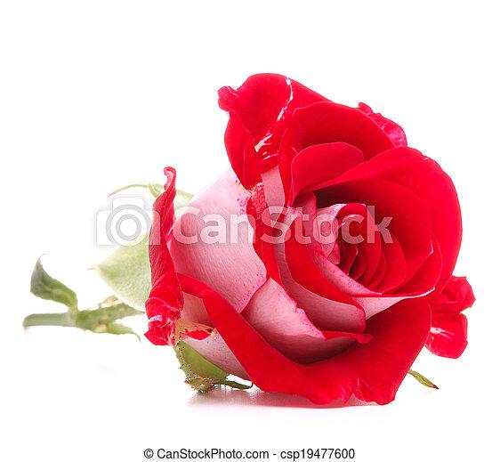 頭, 花, バラ, 隔離された, 背景, 白, 切抜き, 赤 - csp19477600