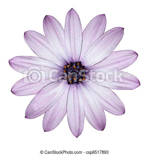 頭, 花, 紫色, ライト, 隔離された, -osteospermum, デイジー, 白 - csp6517893