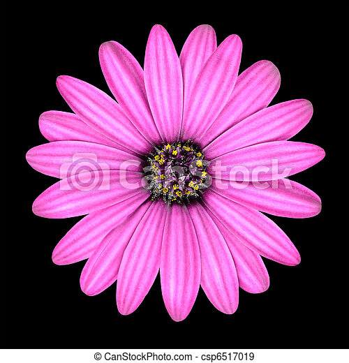 頭, osteospermum, ピンクのヒナギク, 隔離された, 花 - csp6517019