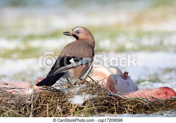 鳥, カケス - csp17209596