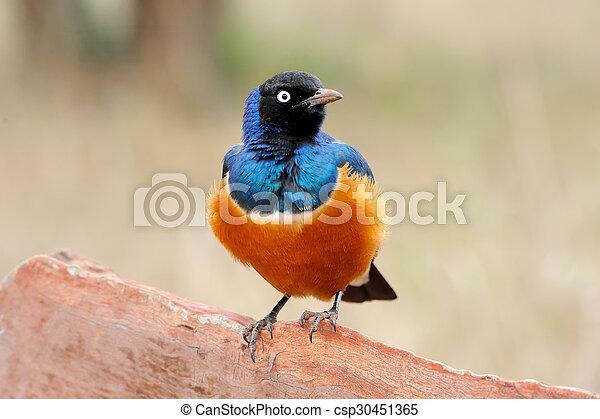 鳥, カラフルである, superb - csp30451365