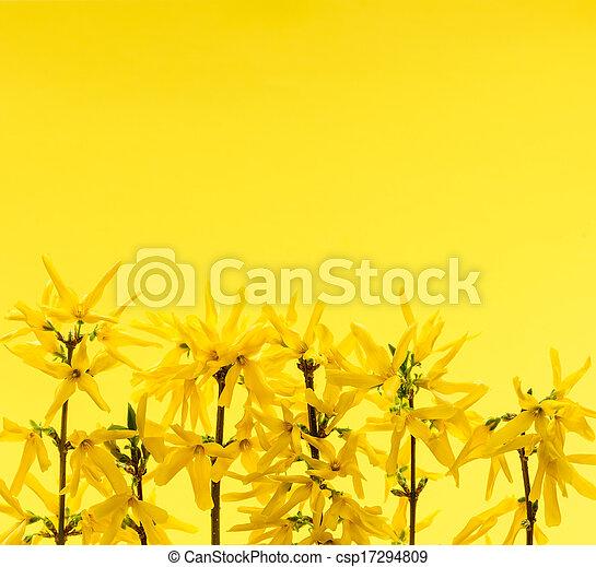 黄色の花, 背景, forsythia - csp17294809
