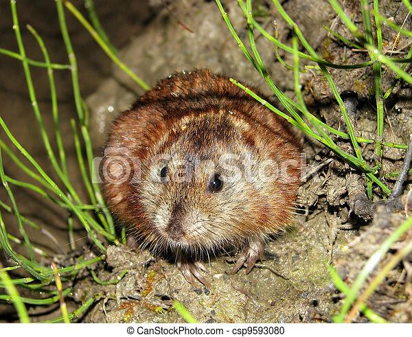 갈색의, siberian, lemming - csp9593080