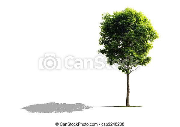 나무, 단풍나무 - csp3248208