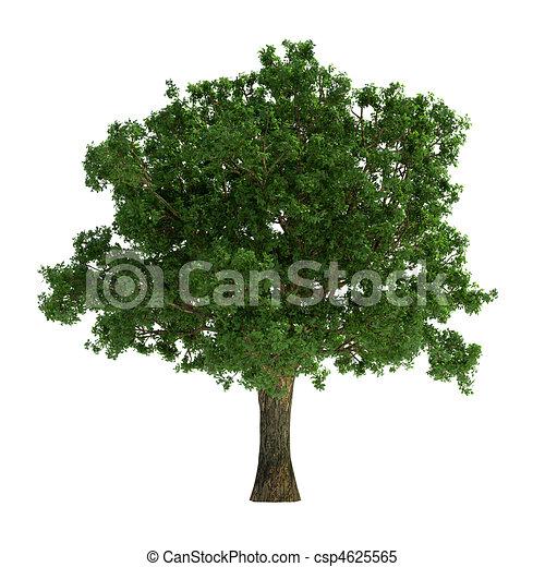 백색, 나무, 고립된 - csp4625565