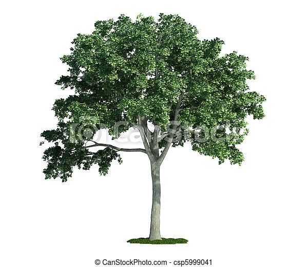 백색, 나무, 고립된, (ulmus), 느릅나무 - csp5999041