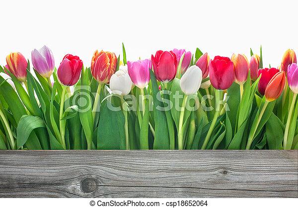 봄의 꽃, 튤립 - csp18652064