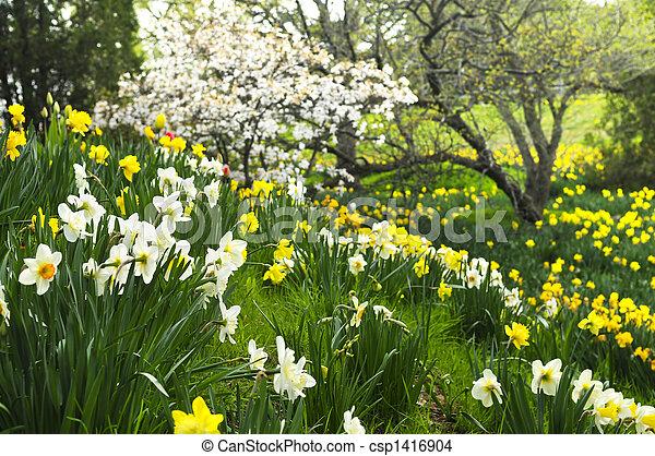 봄, 나팔수선화, 공원, 꽃 같은 - csp1416904
