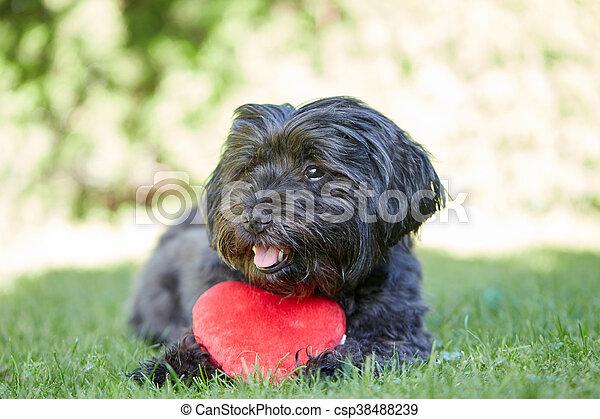심장, 연인, 개, 일, 검정, havanese, 빨강 - csp38488239