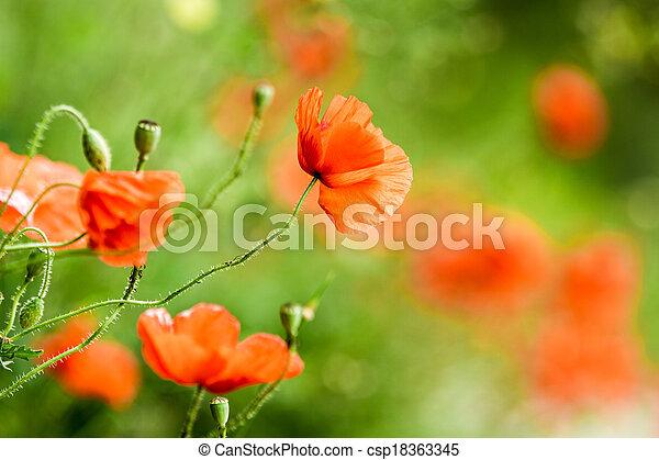 여름, 빨강, 양귀비 - csp18363345