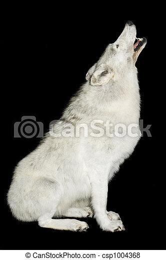 짖는, 늑대 - csp1004368
