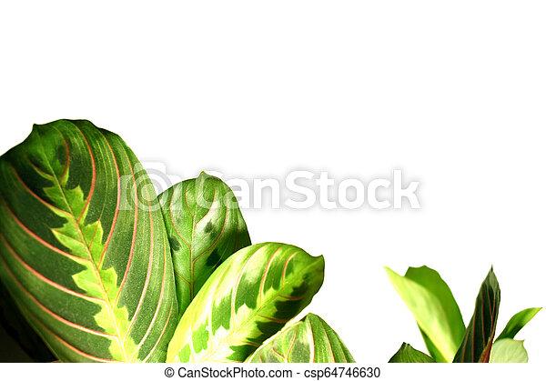 Maranta leuconeura, planta de oración, aislada - csp64746630