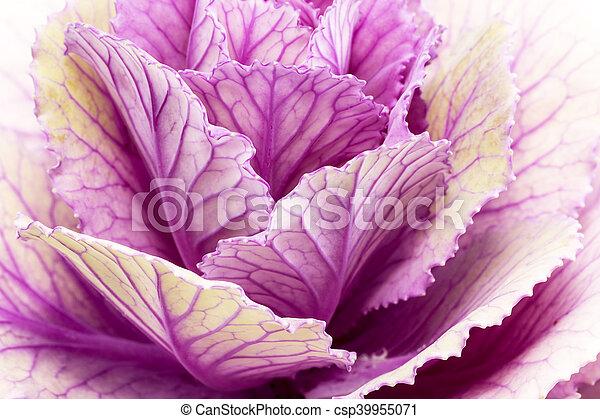 Una sola flor de violeta bronceica Horracea - cierre - csp39955071