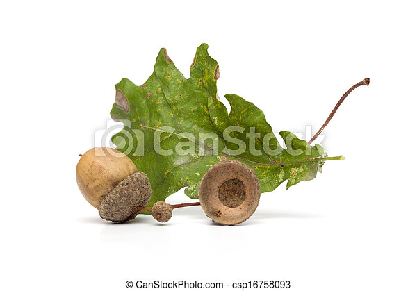 Autumn - Eicheln - immer noch leben mit Blättern - isoliert auf weißem Rücken - csp16758093