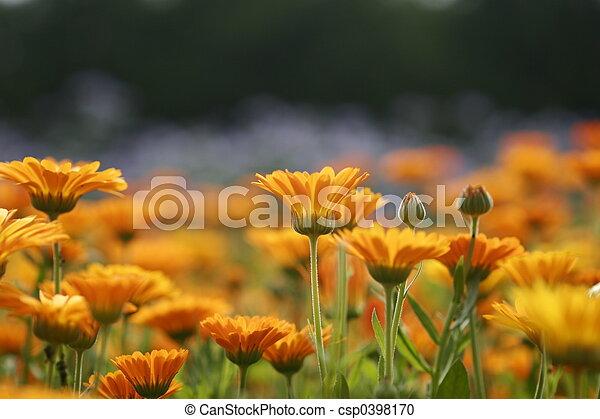 Campo Marigold 1 - csp0398170