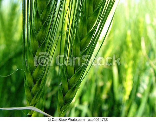 2 barley spikes - csp0014738