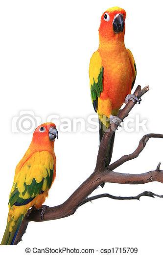 2 Sun Conure Parrots on a Natural Branch - csp1715709