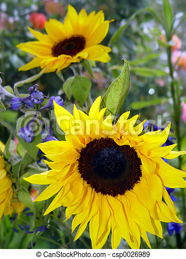 2 sunflowers - csp0026989