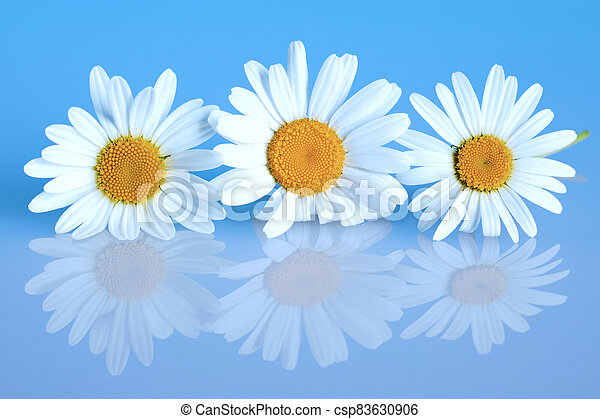 3 chamomiles on the blue background - csp83630906