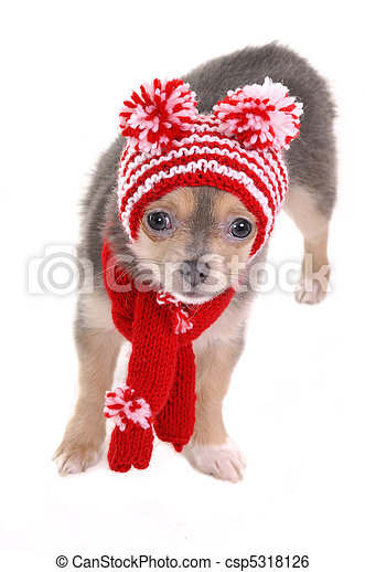 3 month old chihuahua puppy dressed for cold winter walk - csp5318126