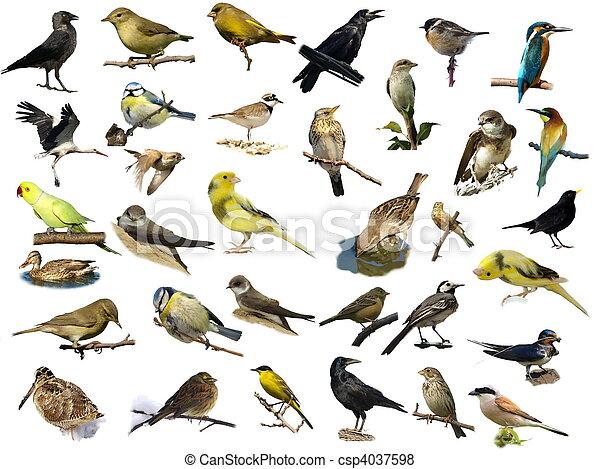 (35), branca, pássaros, isolado - csp4037598