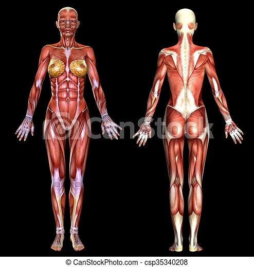 3d Female Body Anatomy Isolated On Black