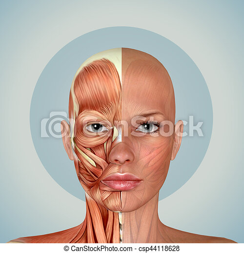 3d Female Face Muscles Anatomy