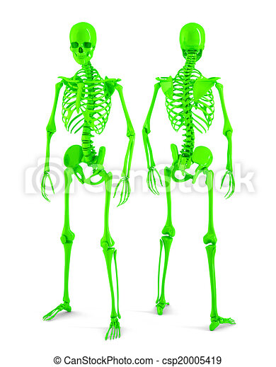 3d Human skeleton. Posterior and anterior view. Isolated. Contains clipping path. - csp20005419