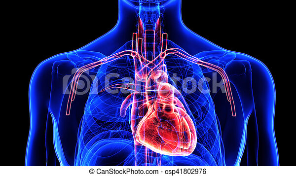 3d illustration human body heart. The heart is a muscular organ in ...