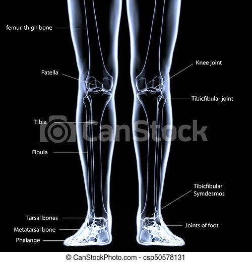 3d illustration of foot skeleton - part of human skeleton. The foot ...