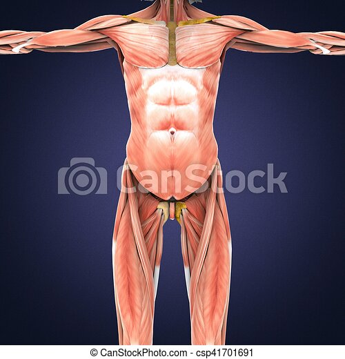 3d illustration of gluteus maximus part of muscle anatomy. In human ...