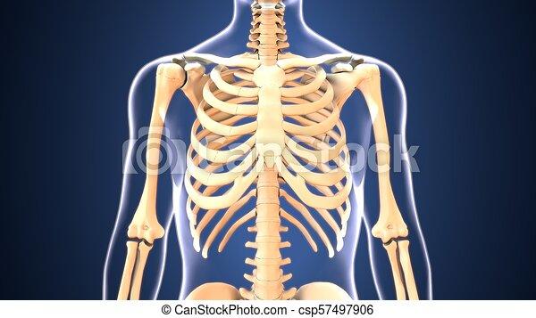 3d illustration of human body hips anatomy - csp57497906