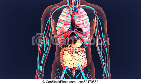 3d illustration of human body organs anatomy. This article contains ...