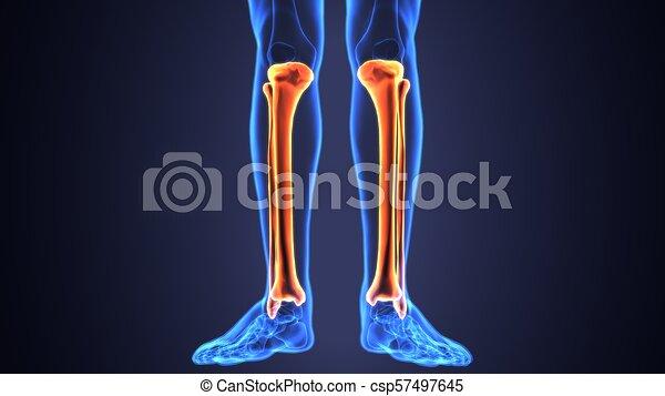 3d illustration of human skeleton tibia and fibula bone. The tibia ...