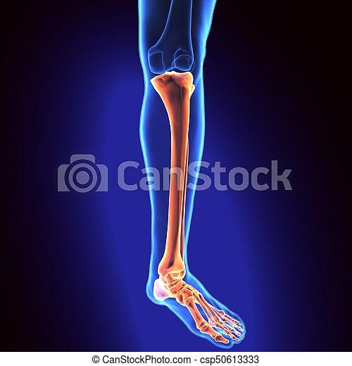 3d illustration of human skeleton tibia and fibula bones. The fibula ...