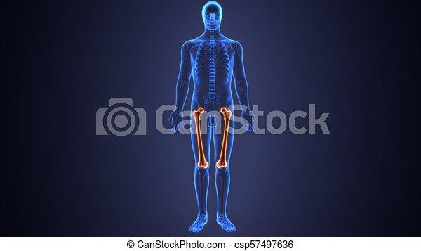 3d illustration of skeleton femur bone anatomy. The femur [1][2] or ...