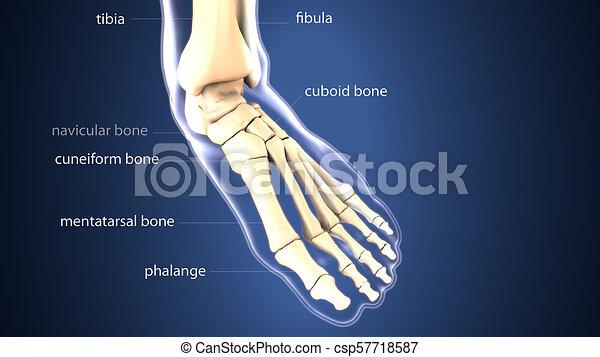 3d illustration of skeleton foot bone anatomy - csp57718587