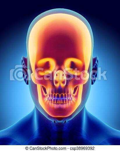 3d Illustration Of Skull Anatomy Part Of Human Skeleton 3d