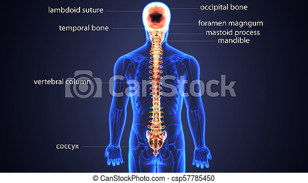 3d illustration of skull and spinal bone bone anatomy. Apart from ...